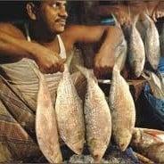 Bangladesh Hilsa Chad Fish