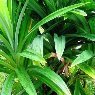 rampe-pandan-leaf