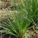 swendara-akar-wangi