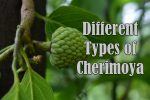 Types of Cherimoya