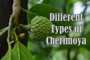 Types of Cherimoya