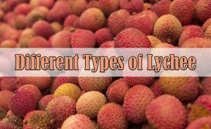 Types of Lychee