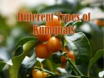 types of kumquats
